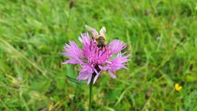 Insect hoverfly on a violet - pink wild flower knapweed in meadow. Royalty Free Stock Photos