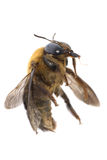 Insect humble bee Royalty Free Stock Photos