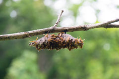 Insect - Hymenoptera hive on the branches Royalty Free Stock Image