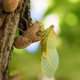 Insect, Invertebrate, Cicada, Macro Photography royalty free stock photography