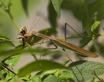 Insect, Invertebrate, Damselfly, Fauna Royalty Free Stock Image