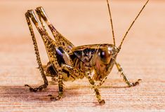 Insect, Invertebrate, Grasshopper, Cricket Like Insect Stock Photos