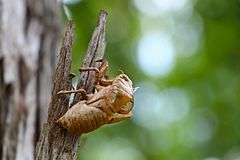 Insect, Invertebrate, Macro Photography, Cicada stock photography