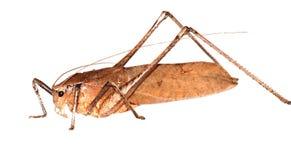 Insect katydid royalty free stock photos