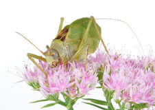 Insect, Katydid. Adult Katydid resting on flowers Stock Image