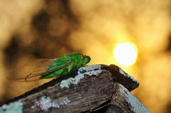 Insect. Lamia , isolated Stock Photo