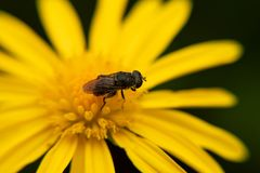 Insect landed on beautiful yellow sunflower royalty free stock photography