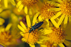 Insect on late summer flowers Stock Image