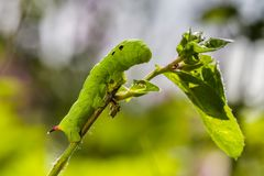 Insect, Leaf, Larva, Macro Photography Royalty Free Stock Image