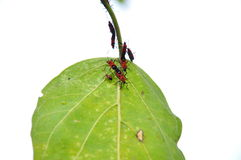 Insect on leaf. Mating pairs Stock Photos