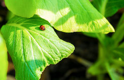 The insect life on the green leaf Royalty Free Stock Images