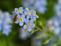 Insect on the little blue flowers. Myosotis alpestris is the state flower of Alaska and Dalsland, Sweden. Plants of the genus are commonly confused with royalty free stock images