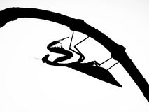 Insect Locust. Locust Macro Insect Black Colors Silhouette Serious Nature Ravenous Animal Ready Stock Image