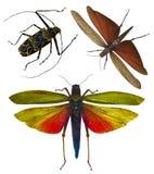Insect locust isolated . locust grasshopper Stock Images
