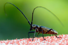 Insect with long antennae Stock Images