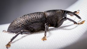 insect that looks like a rhinoceros Royalty Free Stock Image