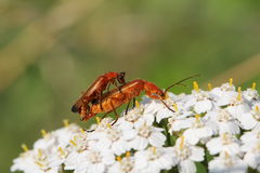 Insect Love Stock Images