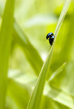 Insect loving. A pair of insects are moving together in green field Royalty Free Stock Image