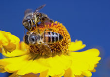 Insect macro bee collects pollen on a flower ( selective focus) Stock Photography