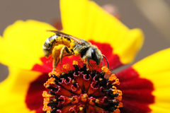 Insect macro bee collects pollen on a yellow Cosmos flower. Stock Photos