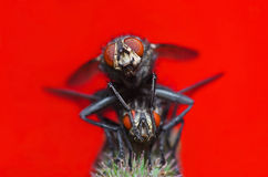 Insect macro flies making love front view Stock Photography