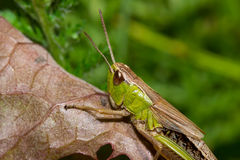 Insect macro grasshopper sits on a leaf Stock Photo
