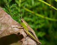 Insect macro grasshopper sits on a leaf Stock Images
