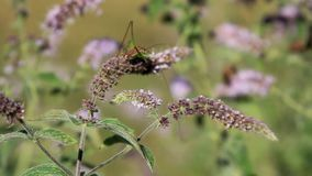 Insect. Macro on mint, cricket singing and bee pollen collecting stock video footage