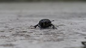 Insect macro zwarte kever stock video