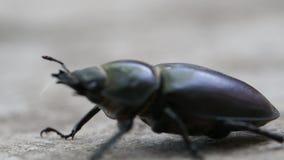 Insect macro zwarte kever stock videobeelden