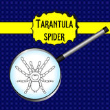 Insect in magnifier. Brachypelma smithi, spider female. Sketch of spider. Tarantula Design for coloring book. Vector Royalty Free Stock Photo