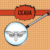 Insect in magnifier. cicada. Cicadidae. Sketch of Stock Image