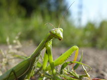 An insect is a mantes Royalty Free Stock Images