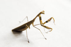 Insect mantis Stock Images