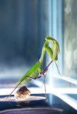 Insect Mantis. Praying mantises are predatory insects and one of the most skillful hunters in the world of insects. Males tend to be much smaller than females royalty free stock photography