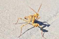 Insect Mantis Religiosa Royalty Free Stock Images