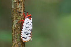 Insect mass in Asia. Insect mass color White and red Stock Photo