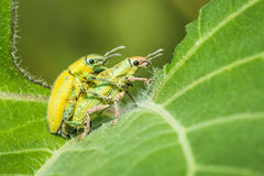 Insect mating Royalty Free Stock Images