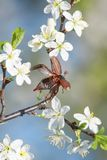 An insect May-bee flies up spreading its wings from a branch of a blossoming cherry tree in  garden against a blue sky. Insect May-bee flies up spreading its stock images