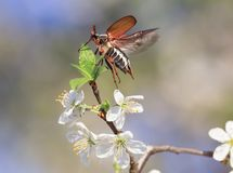 Insect May-beetle flies up spreading its wings from a branch of a blossoming cherry tree in  garden against a blue sky royalty free stock photos