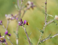 Insect and Meadow Brown Butterfly on Thistles Stock Photos