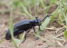 Insect Meloe proscarabaeus  in the grass. Stock Photography