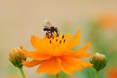 Insect met kosmosbloem Stock Afbeelding