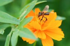 Insect met kosmosbloem Royalty-vrije Stock Fotografie