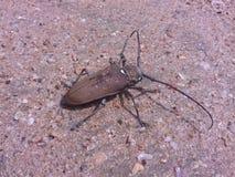 Insect met lange snor Stock Afbeelding