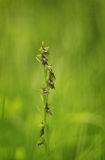 Insect mimicry by this rare fly orchid Stock Photo