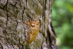 Insect molting.B Royalty Free Stock Images
