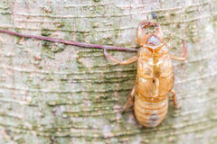 Insect molting, cicada molt on tree bark. Royalty Free Stock Image