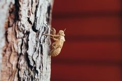 Insect molting, cicada molt on tree, with nature blurred backgro. Und Royalty Free Stock Images