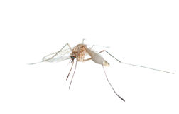 Insect mosquito. Isolated in white background Stock Photography